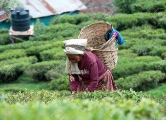 Tea Bonus Price Drop